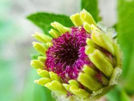 zinnia blomma foto