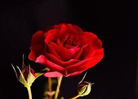 Rose & Bud foto