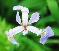 iris blommor foto