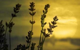 lavander blommor foto