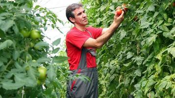 ekologisk jordbrukare som skördar tomater foto
