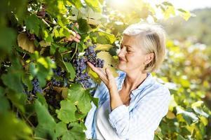 kvinna skördar druvor foto