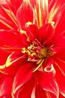 dahlia blomma