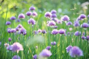 gräslökblomma foto
