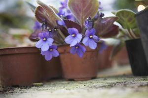blommande krukväxter i växthus foto