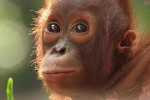 baby orangutang foto