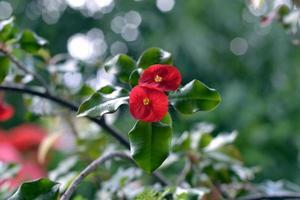 tropiska röda blommor foto