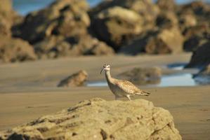 whimbrel (numenius phaeopus) som söker mat i stranden foto