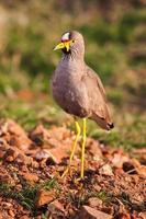 wattled plover (lapwing), vanillus senegallus, promenader längs en kant foto