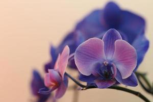 blå och lila orkidéer foto