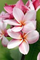 bukett med rosa plumeria eller frangipani blomma. foto