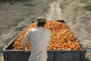 bonde som skjuter apelsins trailer i fältet foto