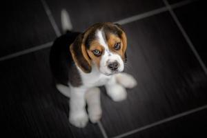 beagle valphund som tittar upp