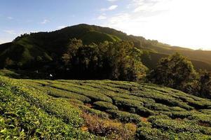 teplantagefält på kullarna