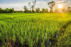 solnedgång på risfält