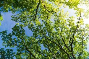 ek trädkrona underifrån mot blå himmel med solros
