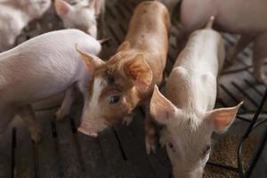 grisar på gården foto