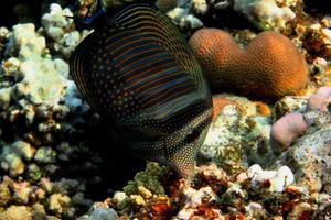 indisk anglefish foto