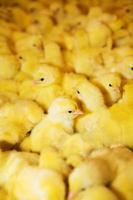 gula kycklingar foto