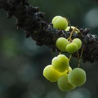 gren av gula och vackra saftiga stjärna krusbär på gren