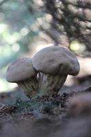 vanlig puffball - lycoperdon perlatum foto
