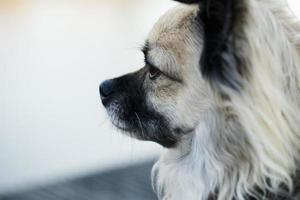 chihuahua njuter av livet foto