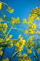 colza fält nära vy foto