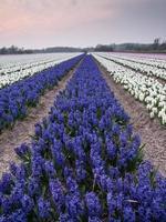 fält av hyacinter under kvällsljus foto