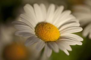 vacker blomma dasy foto