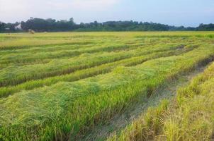 risfält på tropiskt land. foto