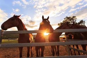 unga hästar vid solnedgången foto