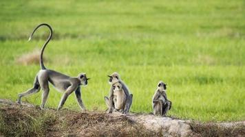 tuftad grå langur i arugambukten, Sri Lanka foto