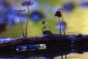 små svampar paddestolar makro giftiga foto