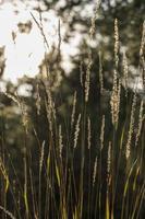 gräs i kvällssol i foto