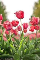 blommande vårrosa tulpanblommor