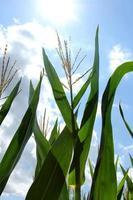majsväxt som växer i sommarsolen foto