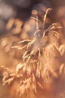 gyllene gräs foto