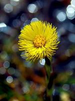 coltsfoot (tussilago farfara l.) blommor i vårskogen foto