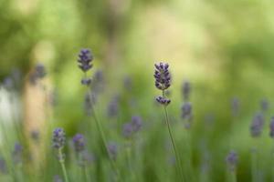 lavendelblommor som blommar foto