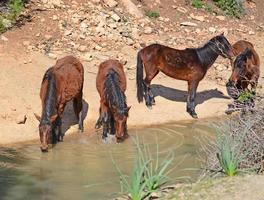 vilda hästar dricker foto