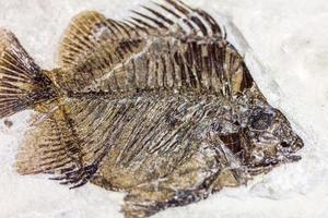 fossil fisk foto
