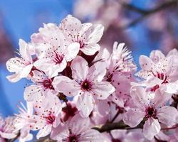 körsbärsblommor på bakgrund med blå himmel foto