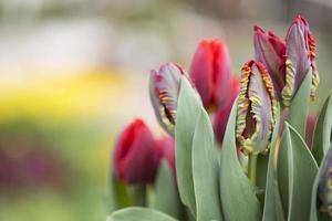 röda tulpaner foto