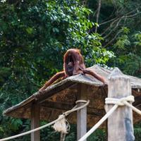 orangutan som dricker urin foto
