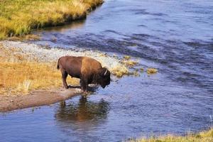 bisonen dricker vatten foto