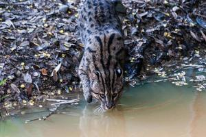 vild katt dricksvatten foto
