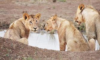 lejoninna som dricker i Kenya foto