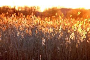cattails tänd tillbaka från solnedgången foto