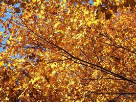 gyllene färger i bakgrundsbelyst trädtak foto