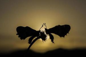 fjärilar i kärlek
